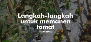 Cara Memelihara Tomat