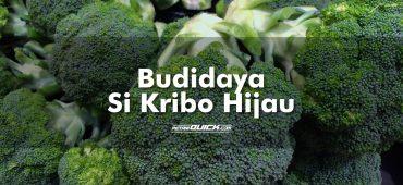 Budidaya Si Kribo Brokoli