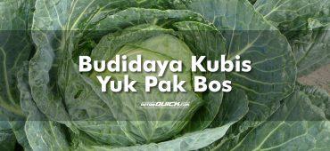 Cara Budidaya Kubis