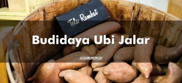 Budidaya Ubi Jalar