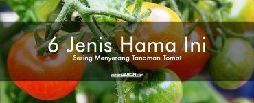 6 Jenis Hama Ini Sering Menyerang Tanaman Tomat