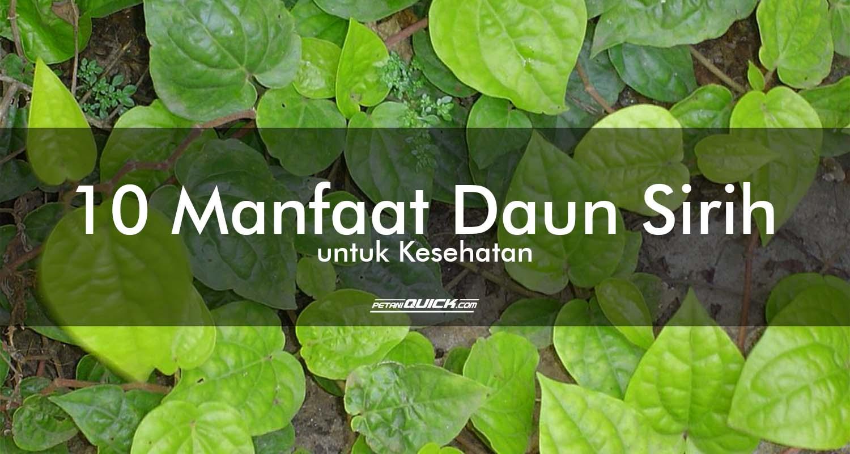 daun sirih, manfaat daun sirih, manfaat tanaman, manfaat tanaman untuk kecantikan, manfaat tanaman untuk kesehatan, menyirih, obat gusi berdarah, obat lambung, obat luka bakar, obat mimisan, obat prostat