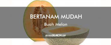 BERTANAM MUDAH BUAH MELON